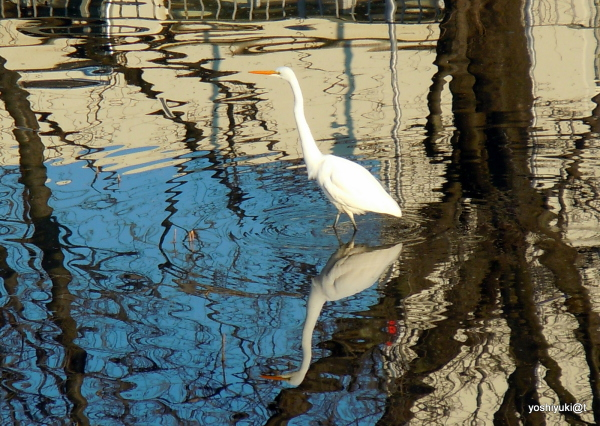 The white heron on the pond, in winter