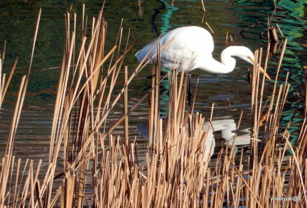 """Big White Egret silhouette in """"S""""...."""