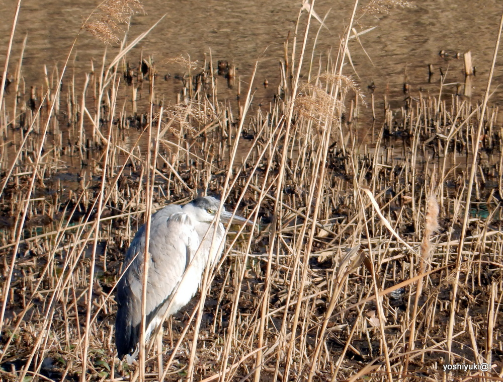Heron among grasses on  a cold day