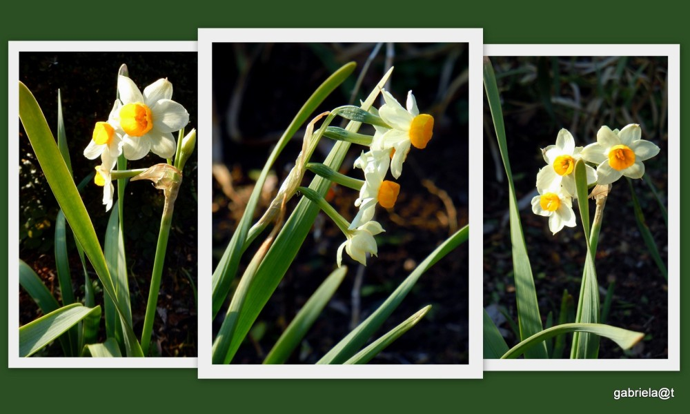 Narcissi mark the beginning of Spring