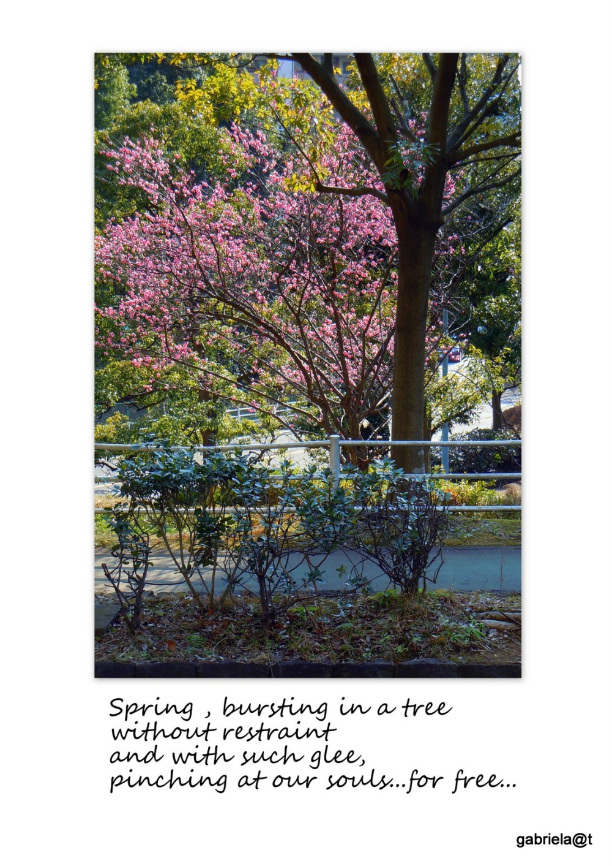 Japanese plum tree in full bloom