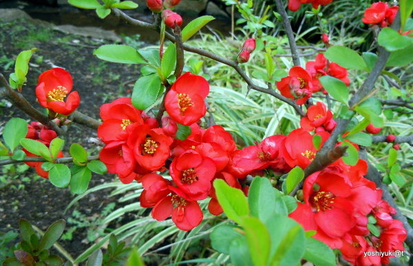 Red quince in full bloom
