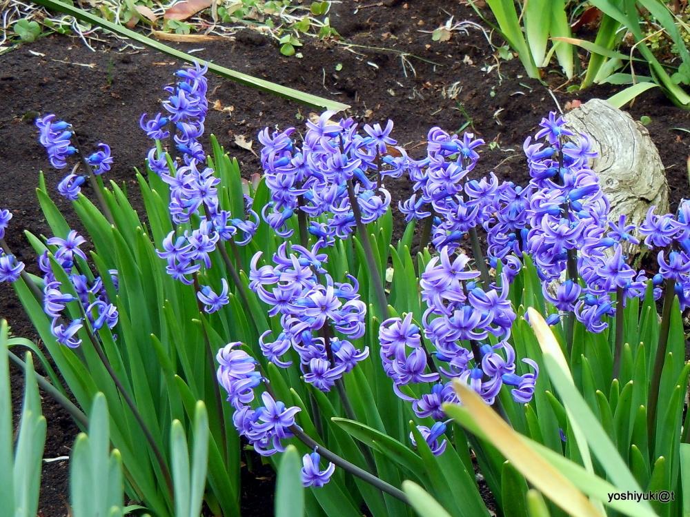 Hyacinths in blue