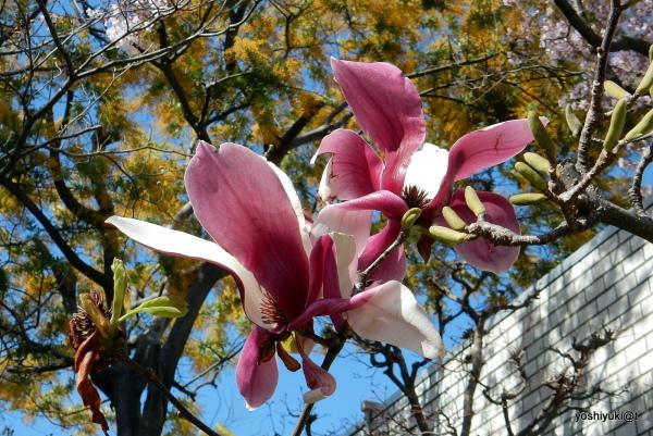Huge magnolia blooms