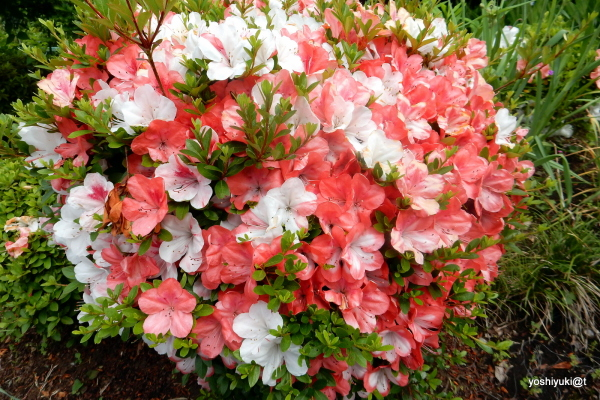 A bush of azaleas with big blooms