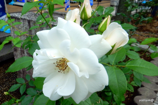 A white rose of May