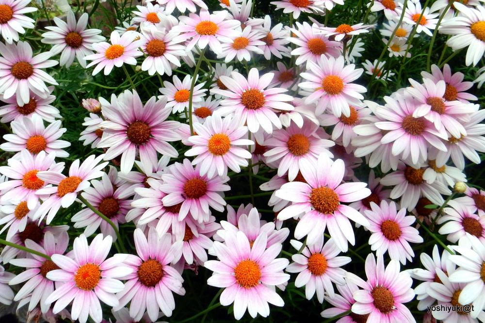 A carpet of daisies