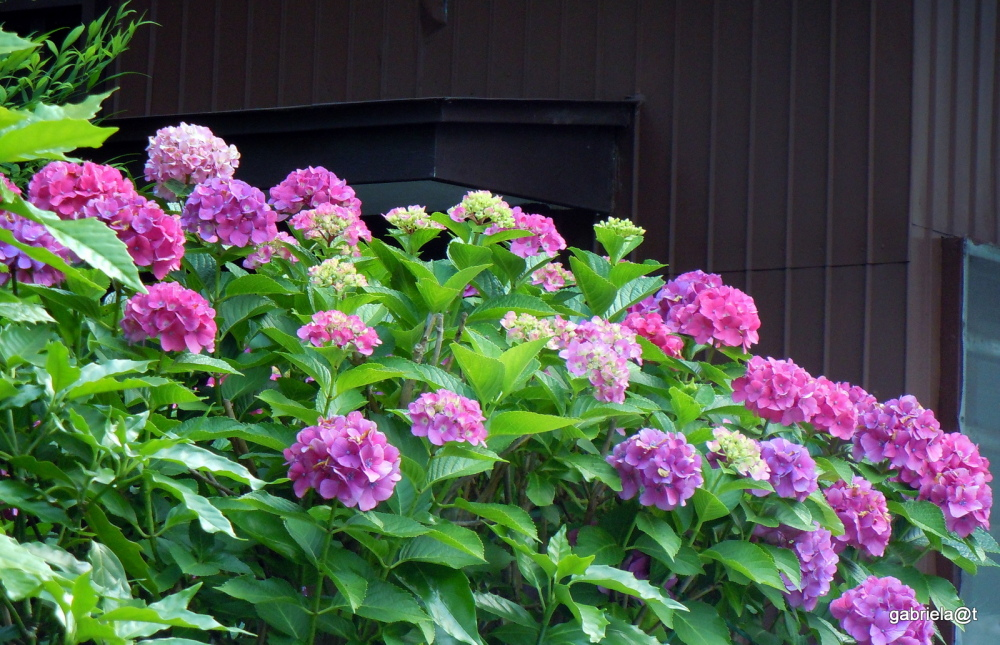 Beyond a wall, big bush of pink hydrangeas
