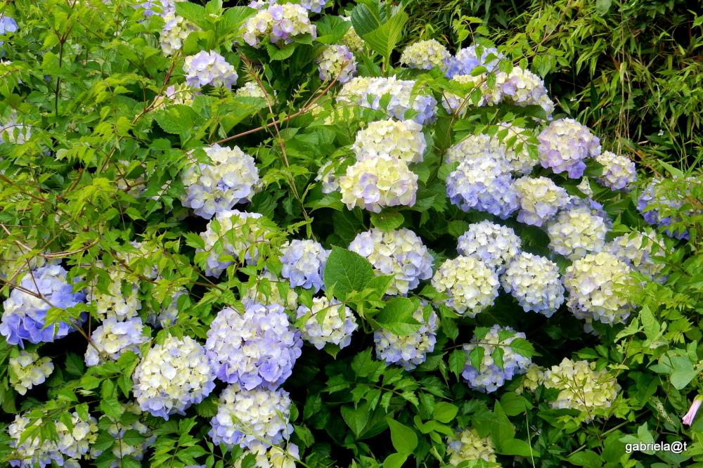 Bushes of blooming Hydrangeas