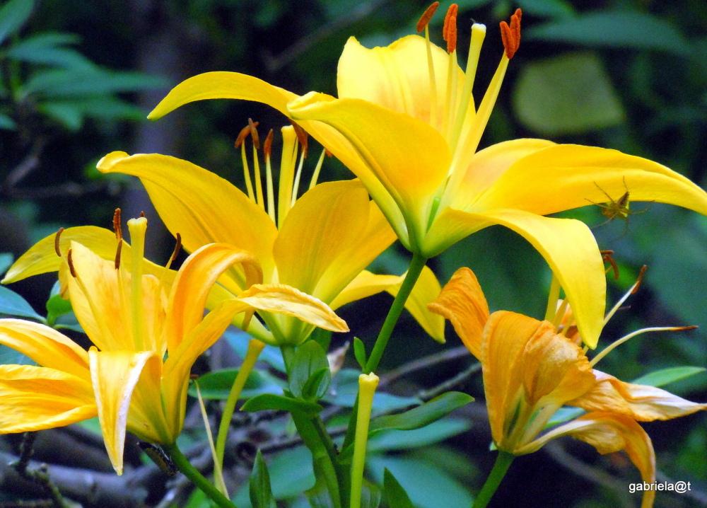 Flamboyant lilies