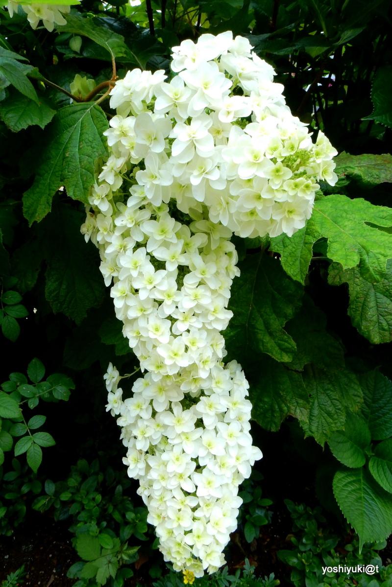 Grape-like hydrangeas