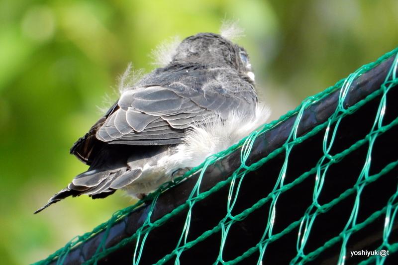 Sparrow chick