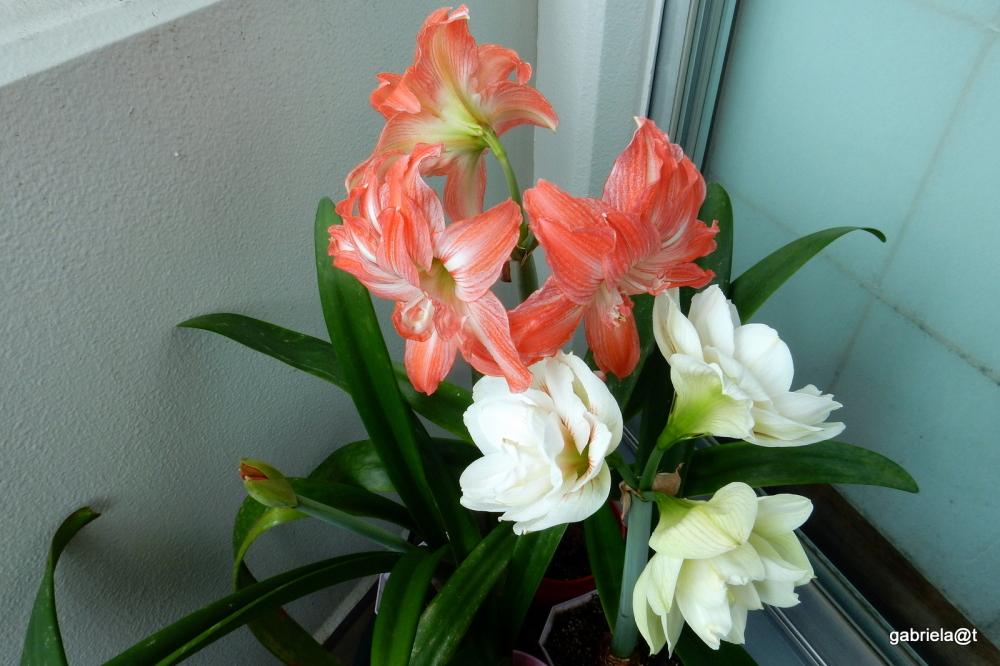 My amaryllises in full bloom