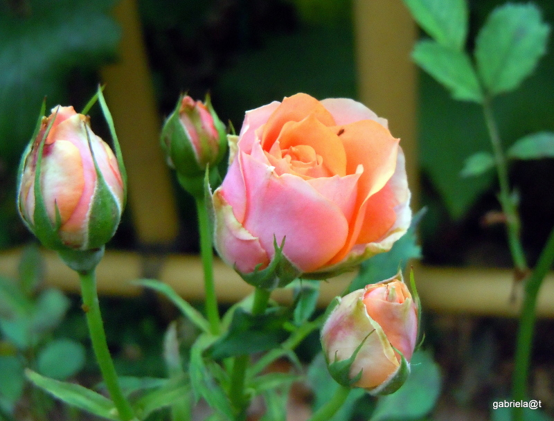 Even roses look like dreaming