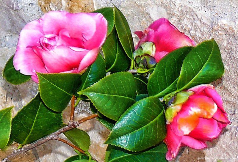 Camellias from my garden