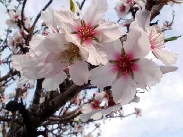 Almond Blossom-Algarve