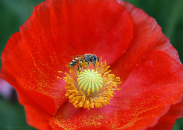 flower , bee , red , colorful , plant , beautiful