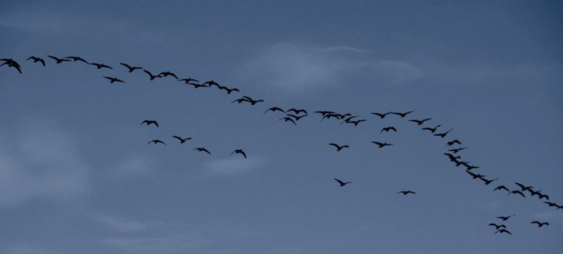 canada geese over the sacramento delta