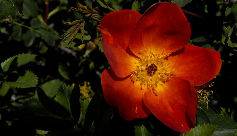 rose filoli gardens woodside california II