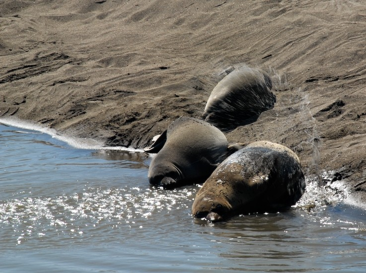 elephant seals central coast california