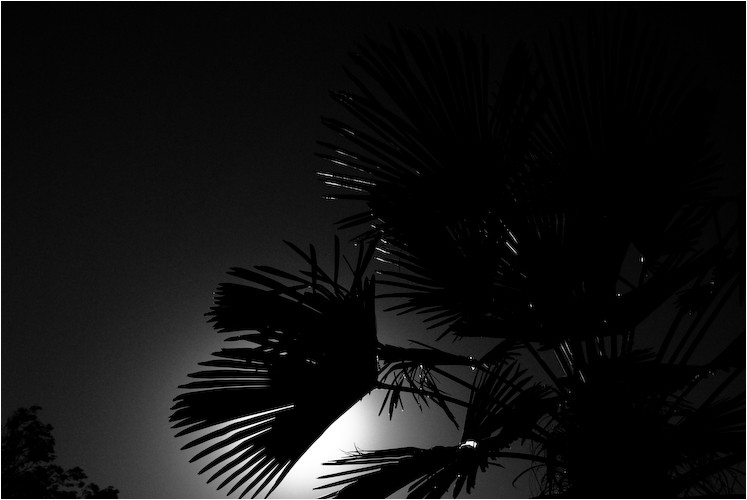 palm sillouhette santa paula california