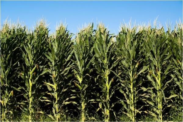 corn patterson california