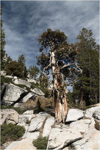 twisted juniper yosemite national park