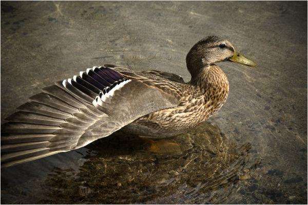 duck silver lake mono county california