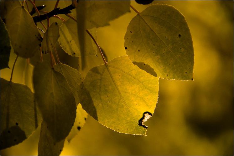 aspen leaf silver lake mono county california