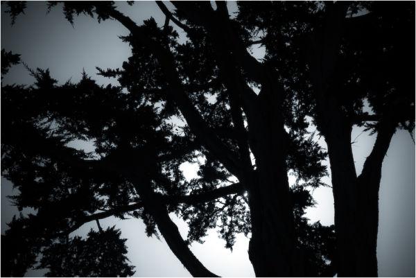 cypress silhouette san francisco