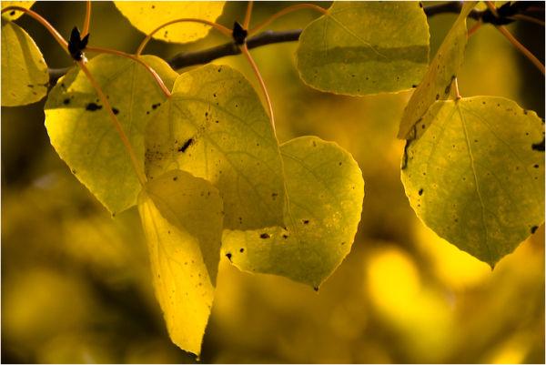 aspen leaf silver lake mono county california II