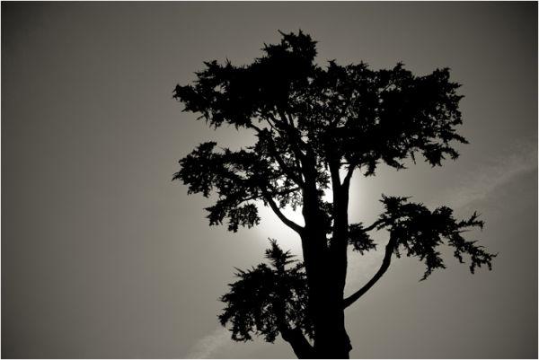 tree presidio san francisco california