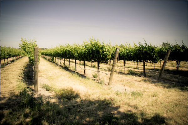 vineyard waukeena rd. sacramento delta california
