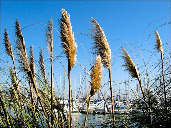 pampas grass emeryville marina california