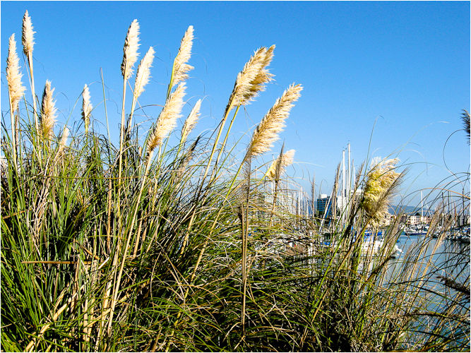 pampas grass emeryville marina california