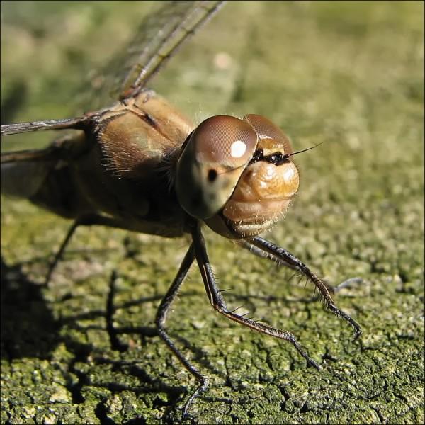Libel / Dragonfly / Sympetrum Vulgatum