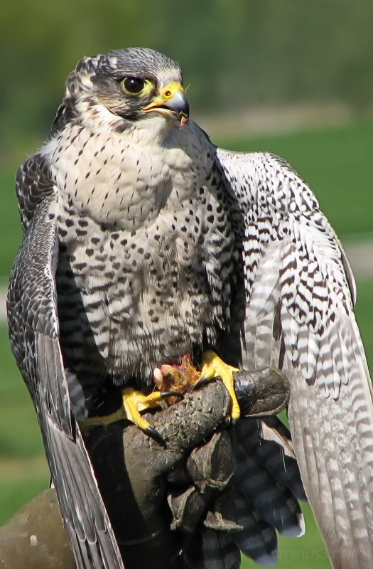 Slechtvalk, Peregrine, Falco peregrinus