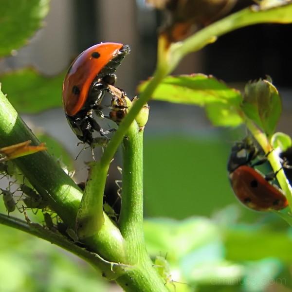 zunnekuukn, ladybug,