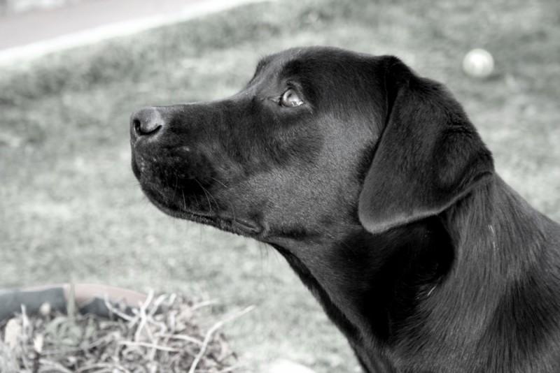 Labrador Retriever - Sukky