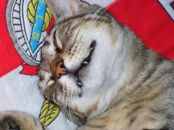 Gato Benfiquista...