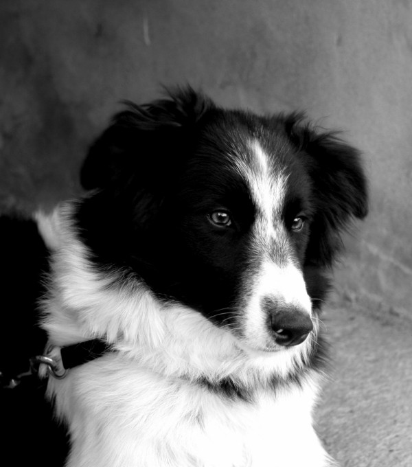 ZiZi - Border Collie