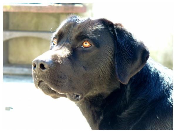 Andy Irons - Retriever do Labrador