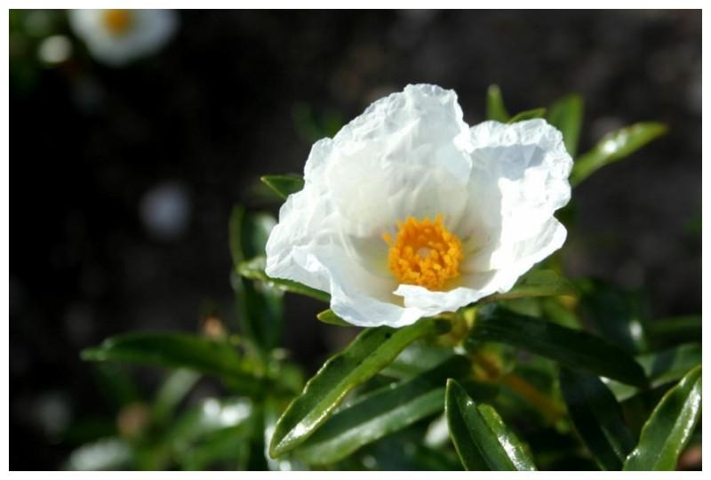 Uma simples Flor...