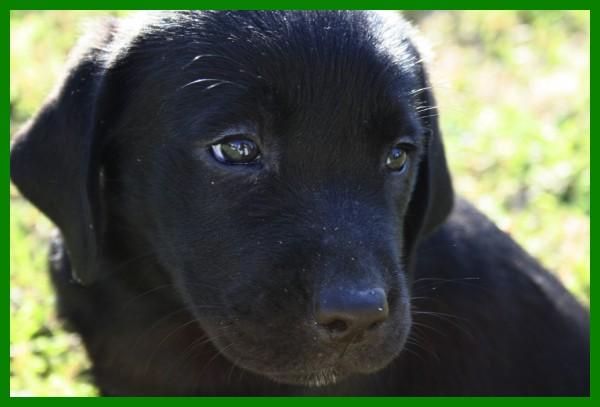 Labrador Preta II