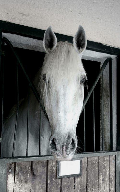 Lusitanian Horse