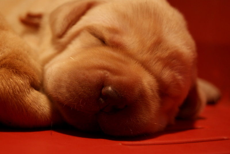 Baby Labrador VI