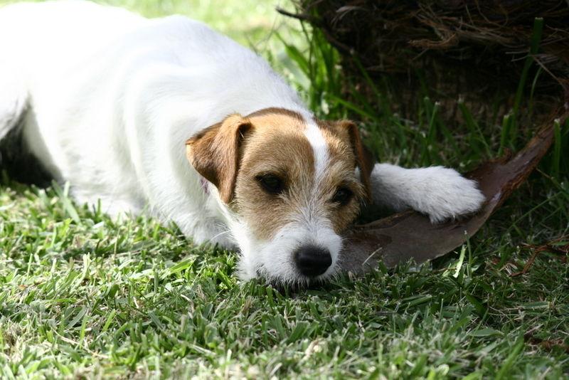 Gossip - Parson russel terrier