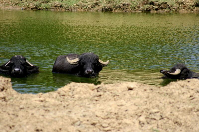 Bufalo Asiático - water buffallo