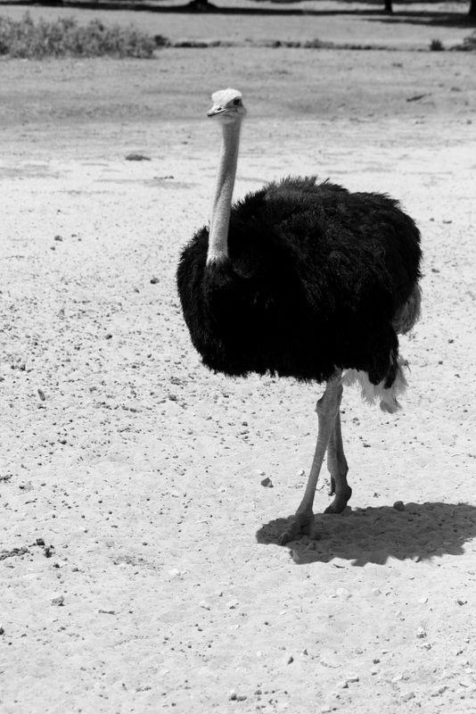 Avestruz - Ostrich II