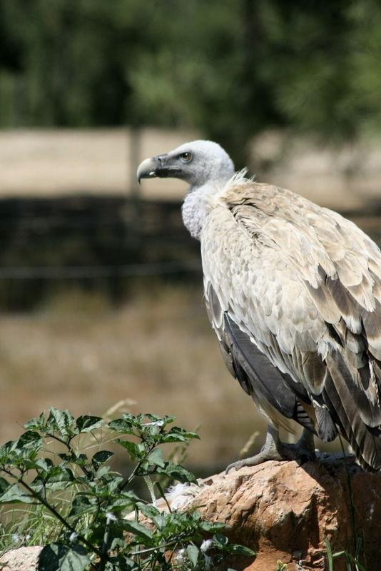 Grifos - Vulture